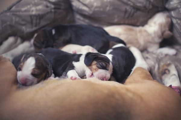 Основы лечения мастита у собак